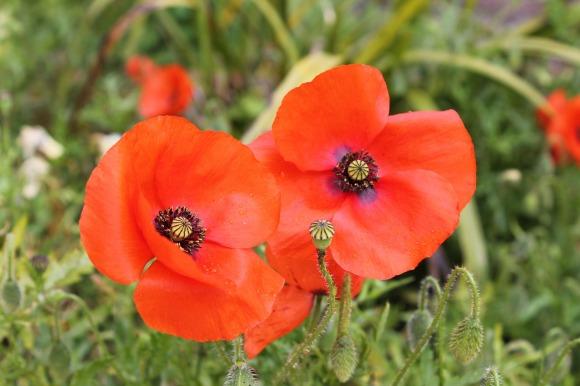 poppy-991326_1920.jpg